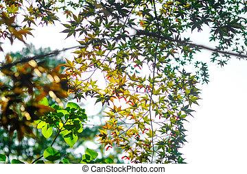 Maple trees in sunlight