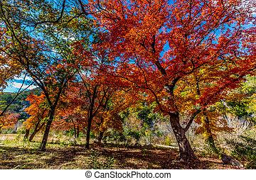 Maple Trees in Texas