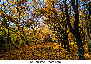 maple trees with yellow leaves in autumn park