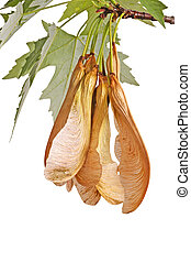 Spring branch of a silver maple (Acer saccharinum) with a cluster of samaras hanging down isolated on white