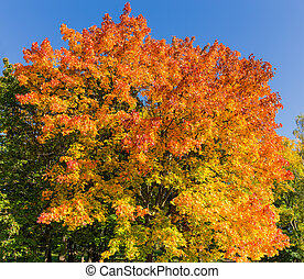 Maple with autumn leaves on a background of the sky