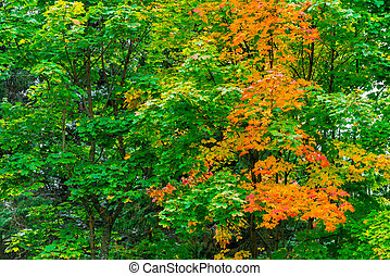 Maple with colorful leaves, changed color, autumn landscape in the park
