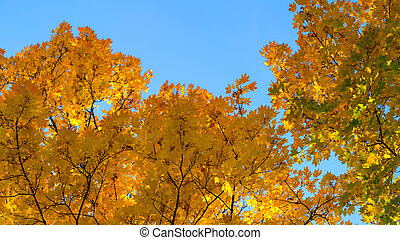 Maple with orange leaves on a background of blue sky