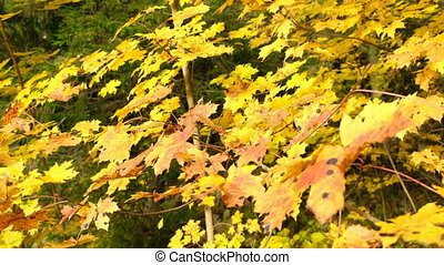 Maple yellow leaves in autumn and the rays of the blinding sun