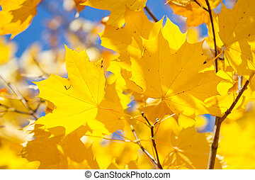 Maple yellow leaves in autumn