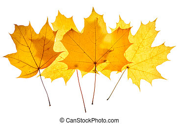 Maple yellow leaves isolated on white