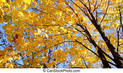 Maple yellow leaves