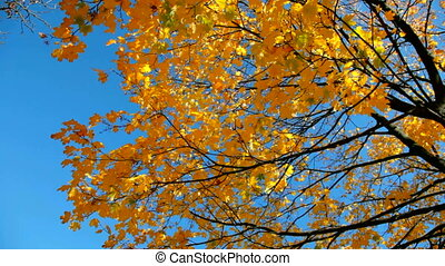 Maple yellow tree