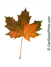 mapple fall leaf on