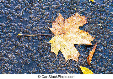 mapple leaf in puddle from melting first snow