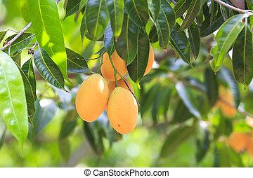 Maprang Marian Plum and Plum Mango thailand