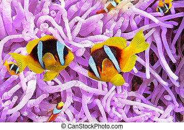 mar, anemonefish., anémona