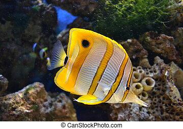 mar, butterflyfish