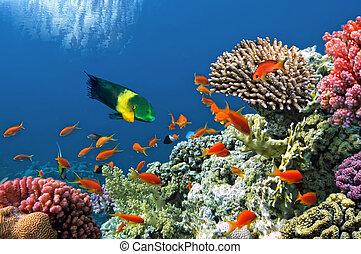 mar, coral, tropical, pez escollo, rojo