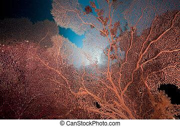 mar, coral, ventilador, sea., arrecife, rojo