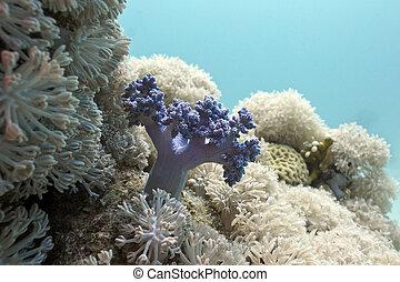 mar, fondo, barrera coralina, corales, suave, rojo