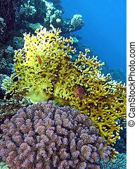 mar, fondo, coral de fuego, arrecife, corales, rojo