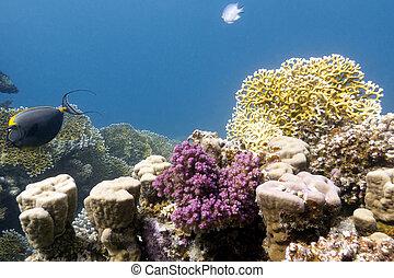 mar, fondo, coral de fuego, duro, arrecife, corales, rojo