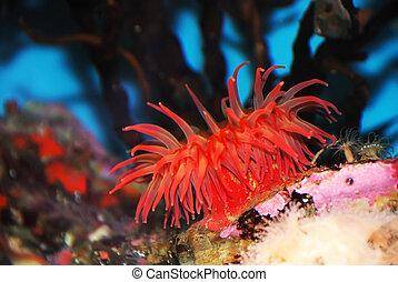 mar rojo, anémona
