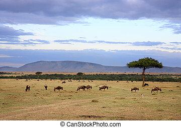 mara, afrique, masai, gnou, troupeau, kenya