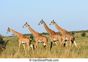 mara, girafes, réserve, groupe, masai, (kenya)
