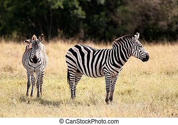 mara, grevy's, masai, afrique, zebra, kenya, réserve