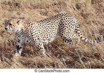 mara, masai, afrikas, kenia, gepard, reserve