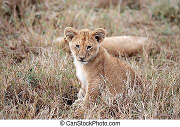 mara, masai, afrikas, löwe bengel, kenia