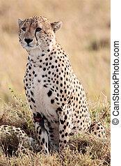 mara, masai, afrique, kenya, guépard, réserve