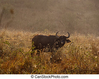 mara, masai, park, afrikanisch, kenia, büffel