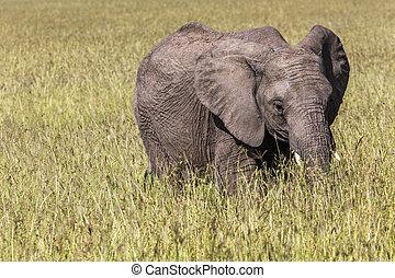 mara, national, réserve, maasai, éléphant, sauvage, kenya.