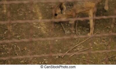 Mara - Patagonian Hare - Patagonian guinea pigs,full hd...