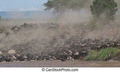 Herd of Wildebeests crossing the Mara River