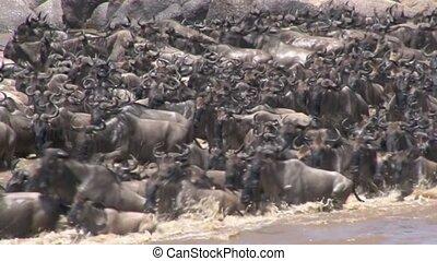 Huge herd of Wildebeests crossing the Mara River