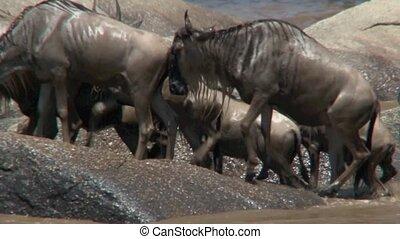 Massive herd of Wildebeests crossing he Mara River