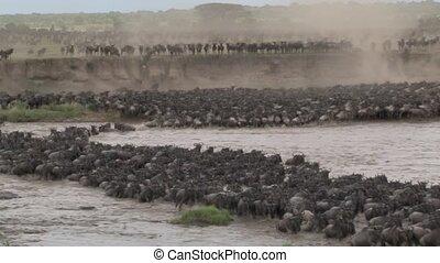Massive herd of Wildebeests crossing the Mara River