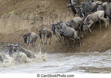 mara, wildebeest, während, river., springende , überfahrt,...