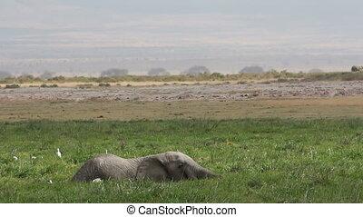 marais, éléphant africain