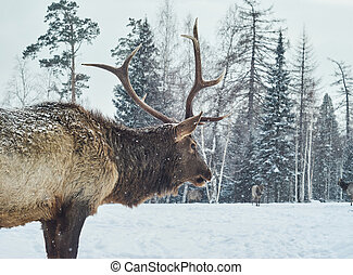 Maral deer male in a winter forest glade amid his herd