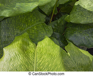 maranta, hojas