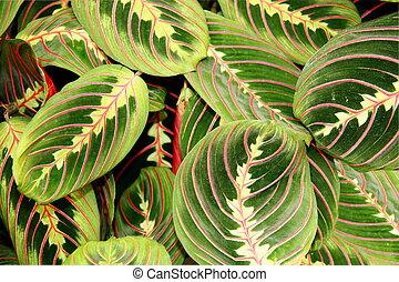 maranta, planta