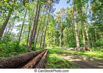 maravilhoso, floresta verde, em, a, verão, polônia