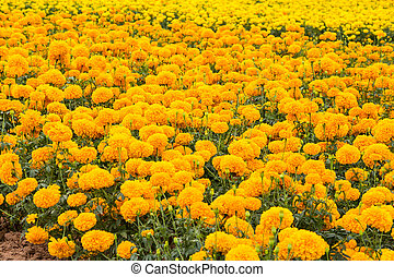 maravilla, flores