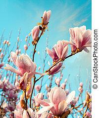 maravilloso, colores, de, spring., magnolia, flores, contra, el, cielo, en, sunset.