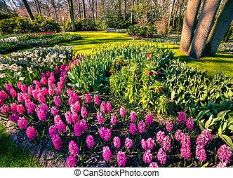 maravilloso, flores, en, el, keukenhof, gardens.