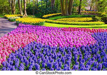 maravilloso, jacinto, flores, en, el, keukenhof, parque