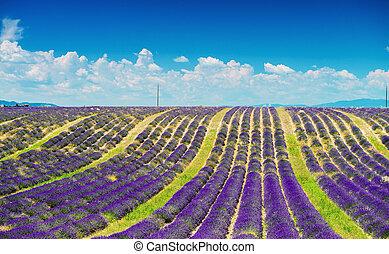 maravilloso, púrpura, colores, de, lavanda, campos, en, verano