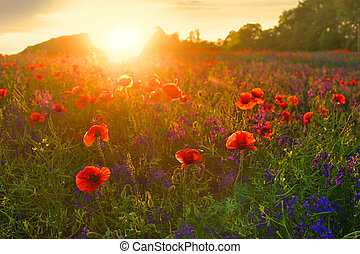 maravilloso, poppyfield, con, bellflower, en, tarde, ocaso
