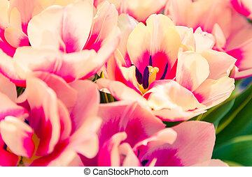 maravilloso, tulipán, flores, en, el, keukenhof, parque
