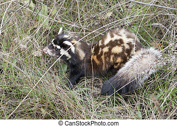 Marbled polecat among grass. - Young Marbled polecat among...
